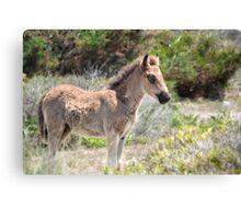 Shackleford foal Canvas Print