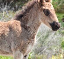 Shackleford foal Sticker