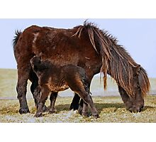 Wild Shetland Ponies - Mare & Foal Photographic Print