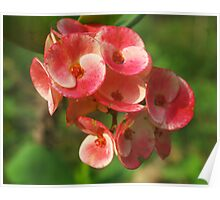 Crown of thorns flower Poster