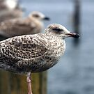 Gulls by Falko Follert