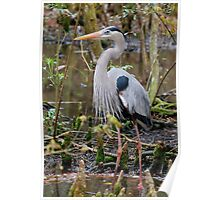 Great Blue Heron In The Wetlands Poster