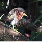Baby Greenbacked Heron by Kathy Baccari
