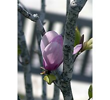 Deep pink magnolia flower. Photographic Print