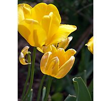 Bright yellow tulip blossoms. Photographic Print