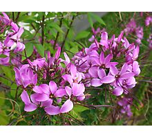 Purple Spider Plant Photographic Print