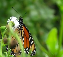 Monarch Butterfly and White flowers by Rencen
