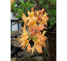 Apricot yellow orange Azaleas. Photographic Print