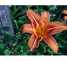 Bright blooming orange lily. Photographic Print