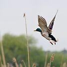 Duck's off, Oasi Naturalistica La Vale, Lago Trasimeno, Umbria by Andrew Jones