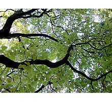 Looking up at the green leaves. Photographic Print