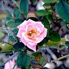 Light pink blooming rose. by Amara Paul