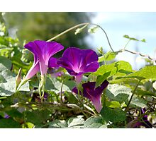 Glowing purple clematis in the sun.  Photographic Print
