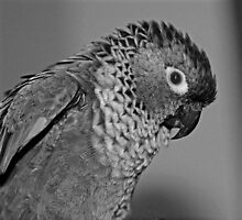 Black and white portrait of a Conure by larry flewers