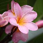 The Rains Are Here: Pink Frangipani by aussiebushstick
