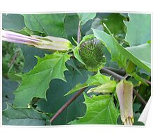 Moonflower pod and waning flowers Poster
