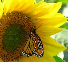 Monarch Butterfly alone on a Sunflower by Rencen