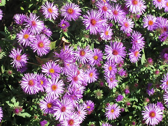 Mini Purple Daisies by Rencen