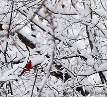 Cardinal in Snow by ChadLarsonPhoto