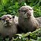 Species Specific - European Otter (Lutra lutra)