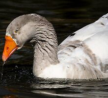 Goose Foraging by Joe Jennelle