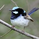 Superb Fairy Wren taken at Walka Water Works by Alwyn Simple