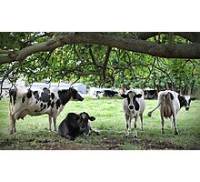 More Dairy Cows Photographic Print