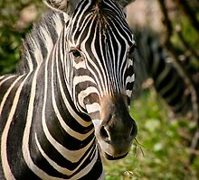 Zebra portrait by Heather  McCann