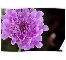 Purple Pincushion flower - Scabiosa Africana Poster