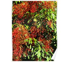 Illawarra Flame Tree - Drouin Gippsland Poster