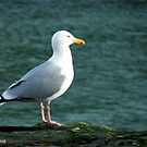 Herring Gull by Michaela1991