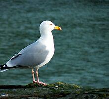 Herring Gull by Michaela1991