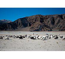 pashmina sheep Photographic Print