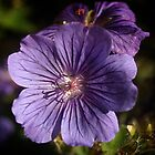Geranium Johnson's Blue by Paul Barnett