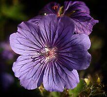 Geranium Johnson's Blue by Paul Barnett