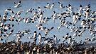 Avocets of the Exe Estuary by Neil Bygrave (NATURELENS)
