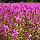 Fireweeds by Walter Quirtmair