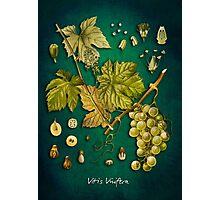 Vitis vinifera Photographic Print