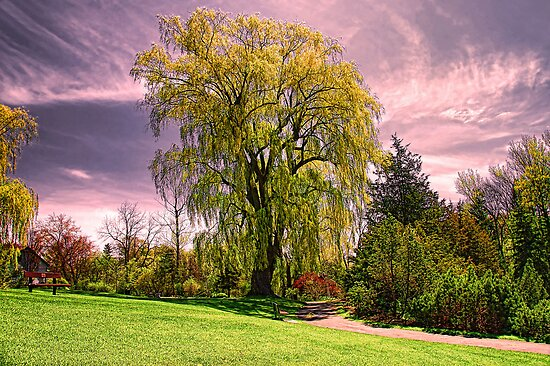 Weeping Willow Tree by Elaine  Manley