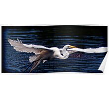 Great White Heron-Orlando, Florida Poster