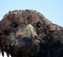 Eagle Stare by Peter Barrett