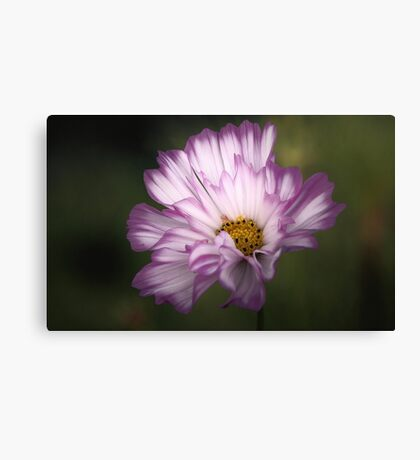 Pink and White Ruffled Cosmos Canvas Print