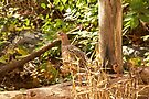 Female Ring-necked Pheasant - Phasianus colchicus by MotherNature