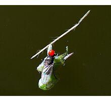Tasmanian Redhead- My best close up insect to date , by mistake but who cares Photographic Print