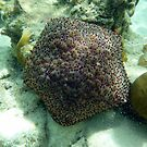 TOP SIDE OF PINCUSHION STAR FISH by springs