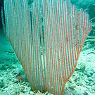 HARP CORAL by springs