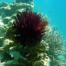 RED FEATHER STAR by springs