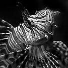 Little Lion Fish by Liza Yorkston