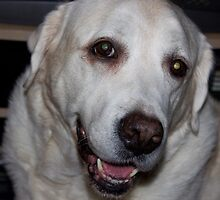 Labrador retriever  by Vaillettephoto