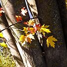 Red and Yellow Maple Leaves by Shulie1